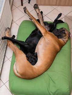 Loewie - Zwarte Labrador | Pawshake Bonheiden