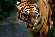 Tiger - Large wild cats