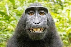 نتيجة بحث الصور عن gorilla smile
