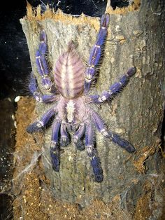 Poecilotheria metallica, the Gooty sapphire ornamental tree spider, is a tarantula that is critically endangered. Found only in Andhra, India, threats are habitat degradation, logging, and the pet trade.