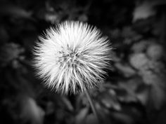 30 Day Photography - October 2013 Day 7 - Black and White Burdock head