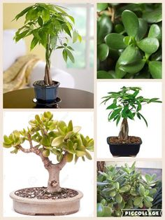 Money Plant Trees in Feng Shui Best to place them in the SE sector of your home and/or office to start attracting wealth and prosperity. DO NOT place them in a bathroom or bedroom even if these rooms are located in the SE. Keep ALL of your plants vibrant Feng Shui Bedroom Tips, Feng Shui Master, Feng Shui Tips, Feng Shui Plants, Feng Shui Wealth, Money Plant, Lucky Bamboo, Jade Plants, Think And Grow Rich