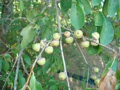 Scientific Name:  Quercus spp.  Abundance:  common  What:   nuts  How:   leach out tannins with lots of water then grind to flour, roast nut...