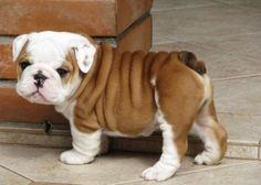 bulldog puppy<3
