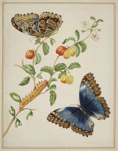 Maria Sibylla Merian Vintage Butterfly Print, 1702 Art Print by Fine Earth Prints - X-Small Vintage Butterfly, Butterfly Print, Creative Writing Workshops, Sibylla Merian, Royal Collection Trust, Morpho Butterfly, Still Life Fruit, Illustrations Posters, Artsy