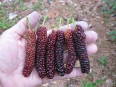 Cheap fruit trees, Buy Quality mulberry fruit directly from China mulberry tree Suppliers: BELLFARM Big Long Mulberry Fruit Tree, 50 Seeds, dark red edible organic fruits Mulberry Plant, Mulberry Fruit, Mulberry Street, Weeping Mulberry Tree, Pistacia Vera, Pistachio Tree, Pakistan Food, Pakistan Travel, Fast Growing Trees