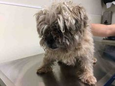 SAFE 9-23-2016 by Anarchy Animal Rescue --- Brooklyn Center MOPSY – A1090559  FEMALE, CREAM, SHIH TZU MIX, 5 yrs STRAY – EVALUATE, NO HOLD Reason STRAY Intake condition EXAM REQ Intake Date 09/20/2016