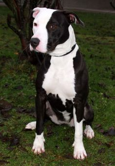 Border Collie/American Staffordshire Terrier Mix Dog for