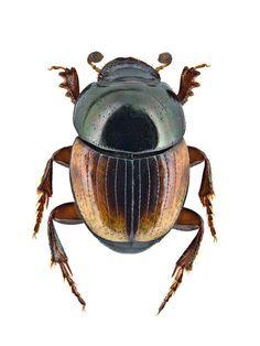 Onthophagus tersus