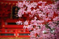 高画質 写真 しだれ桜 正法寺 京都 満開