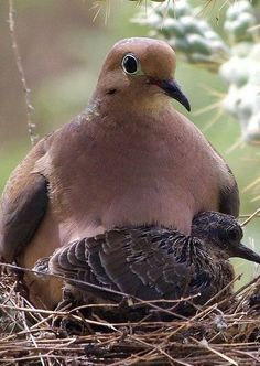 Morning Dove and Chick