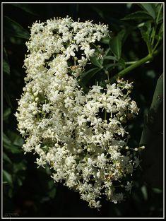 Elderberry... Planting tips