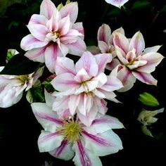 Clematis 'andromeda'