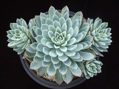 Echeveria 'Violet Queen' | Flickr - Photo Sharing!