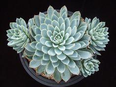 Echeveria 'Violet Queen' | Flickr - Photo Sharing!