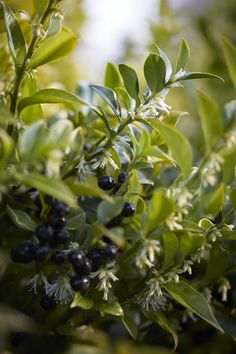 The distinctive black berries that come with Sarcococca confusa.