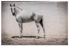 Lena Saugen Equine Photographer   Lusitano Horse Finder