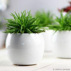 Starzec azjatycki 'Himalaya' Lava, Philodendron Scandens, Himalaya, Lemon Lime, Cactus, Planter Pots, Succulents, Garden, Garten