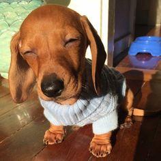 .cute dachshund baby!.