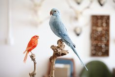 Taxidermy Pink Canary & Blue Ringneck Parakeet. Mandibles, Cape Town.
