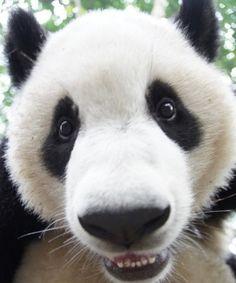 #adorable #panda #upclose