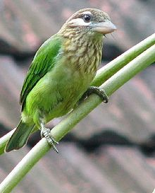 The white-cheeked barbet or small green barbet (Megalaima viridis) is found in southern India.