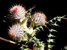 Cirsium ehrenbergii. Fotografía Fernando Ramos