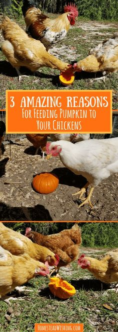 With extra nutrition and added fun, let's check out the reasons for feeding pumpkin to chickens. It's time to go to the pumpkin patch!