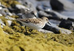 Semipalmated Sandpiper Amherst Island Adult May 30, 2013 Amherst Island