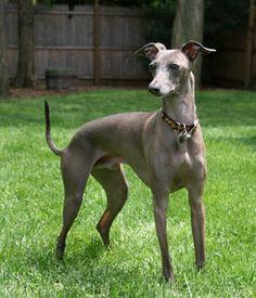 Italian Greyhound breed info,Pictures,Characteristics,Hypoallergenic:Yes Greyhound Italiano, Greyhound Dog Breed, Italian Greyhound Puppies, Miniature Italian Greyhound, Blue Italian Greyhound, Small Dog Breeds, Small Dogs, Small Breed, Small Animals