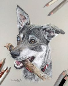 Portrait of my sweet dog Figa is finnaly finished!  Paper: A4 Canson Mi-Tientes in shade 120 pearl grey. Colored pencils: mix of Faber-Castell Polychromos, Derwent Drawing and Coloursoft, Koh-i-Noor Polycolor. #dog #drawing