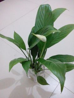 Spathiphyllum,means that whatever path you take, life will be smooth and successful.