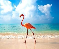 Flamingo in DR (Dominican Republic), white sand beach and crystal clear water. I want to go!