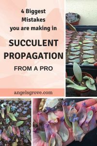 Most Common Succulent Propagation Mistakes.  Are you struggling with propagation? Learn Tips from a Pro. Succulent Leaf Propagation. Learn to make hundreds of succulents in a couple of months with propagation! succulent propagation | succulent gardening | succulent care | indoor gardening | drought-tolerant gardening | succulent projects | succulent diy