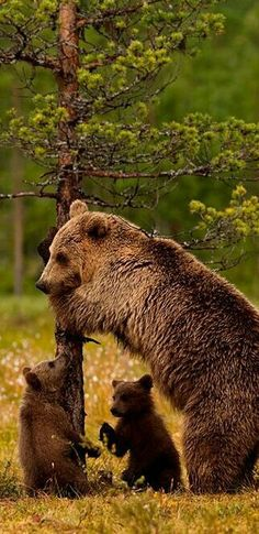 Momma Grizzly Bear and two cubs. probably the most dangerous scenario to come upon. I only had one close call in five years of living on the Ghost River. Nature Animals, Animals And Pets, Baby Animals, Funny Animals, Cute Animals, Baby Pandas, Wild Animals, Baby Bears, Beautiful Creatures