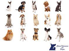 """CLÍNICA VETERINARIA DEL BOSQUE. Al momento de elegir un perro, es importante considerar el espacio con el que contamos y las características que el mismo tiene. Las razas de perros pequeños más populares son: Chihuahua, daschund (conocidos como salichas), Poodle toy y miniatura, existe estándar (no existe el """"tacita de té), Bulldog francés, Corgi, Pomerania, Cocker, Boston, Beagle, Schanuzer miniatura y Jack Russell Terrier, cada uno tiene su origen y características peculiares…"""