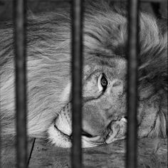 When feeding the lions one day, I noticed how they were getting scraps of food to eat, which from my veterinarian perspective was not the best food choice for them.