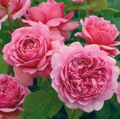 "David Austin Roses ~ 'Princess Alexandra of Kent' ~ repeat flowering, strong fragrance (""delicious fresh tea fragrance which, interestingly, changes completely to lemon as the flower ages""), 3.5 x 3ft."