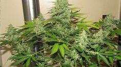 ¿Qué se necesita para hacer un cultivo de Marihuana?