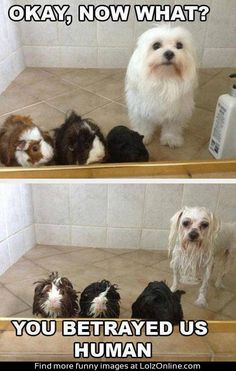 baths, funny animals, funny animal pictures, pet, funni, shower time, dog, bath time, guinea pigs