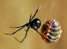 A viúva-negra é uma espécie de aranha que vive nas Américas, inclusive no Brasil, especialmente nas costas dos continentes. A fêmea possui coloração negra brilhante, com larga mancha vermelha em forma de ampulheta na superfície ventral do abdômen. A sua picada pode ser fatal e é considerada extremamente dolorosa.