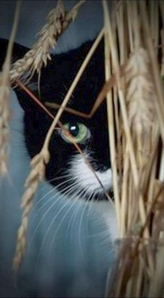 Black & White Tuxedo Cat behind wheat