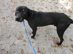 Labrottie dog for Adoption in Conroe, TX. ADN-747749 on PuppyFinder.com Gender: Male. Age: Adult