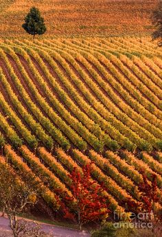 ✯ One tree in the Fall Vineyards - Napa Valley, California