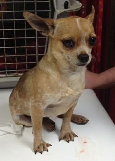 Meet Priscilla Pea JS a Petfinder adoptable Chihuahua Dog | Providence, RI | Adoption donation $399AGE: 2 Years     WEIGHT: 5.2 lbsUp to date on all vaccinations and has been...