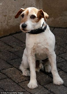 Uggie the dog retired: The Artist star Uggie calls time on his ...