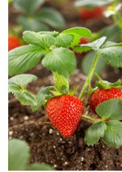 Grow broccoli and strawberries together - broccoli = natural anti-fungal for the strawberry plants...