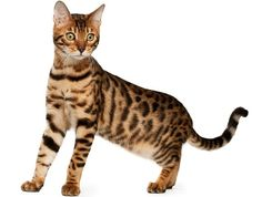 Bengal Cat Facts and Bengal Cat Information Featuring the -CatStats ... - #cat - Different Bengal Cat Breeds at Catsincare.com