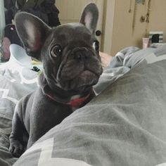 The major breeds of bulldogs are English bulldog, American bulldog, and French bulldog. The bulldog has a broad shoulder which matches with the head. French Bulldog Pictures, French Bulldog Facts, French Bulldog Blue, French Bulldog Puppies, French Bulldogs, Cute Puppies, Cute Dogs, Dogs And Puppies, Doggies