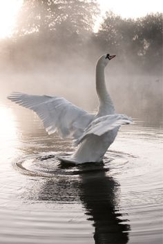 Swan stretching its wings in mist rising off the lake. Magical atmosphere. (Kevin Day | Flickr)